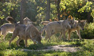 farkasok a Medveotthonban