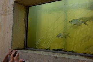 kiskörei vízlépcső, hallépcsőn felúszó halak. Üvegablakban látható egy szakasz, amit a gyerekek nagyon élveznek