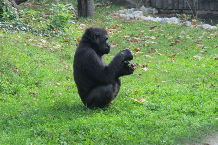 fiatal gorilla a külső kifutóban