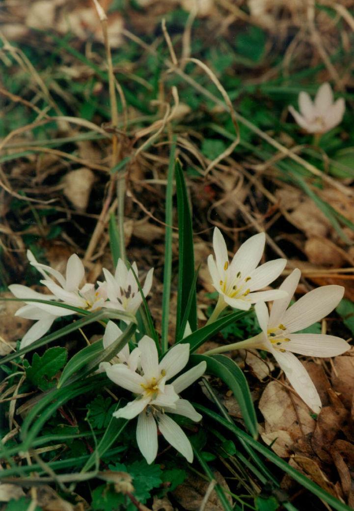 Hungarian Colchicum