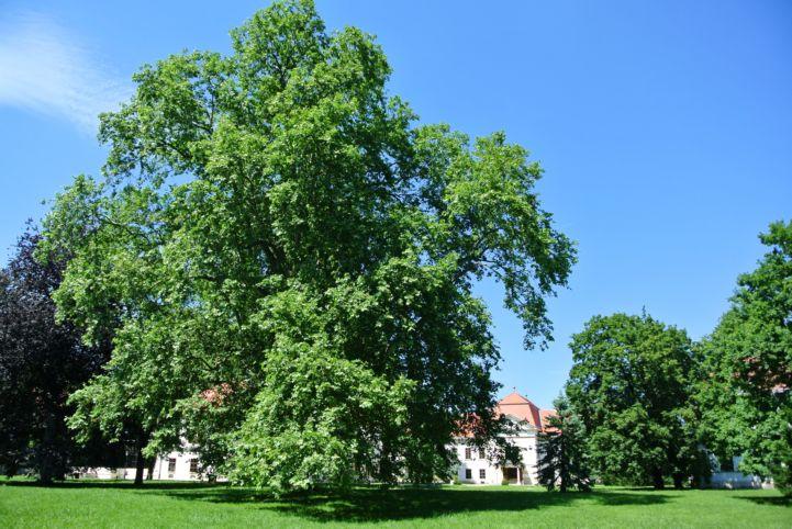 évszázados fa a kastély mögött
