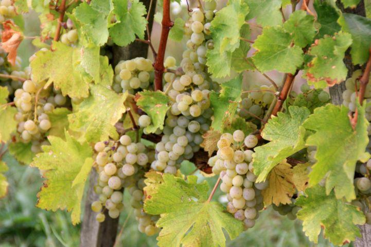 olaszrizling szőlő