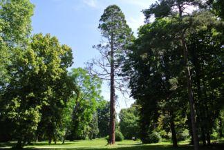a kastély kertjének egyik növényritkasága: egy kaliforniai mamutfenyő