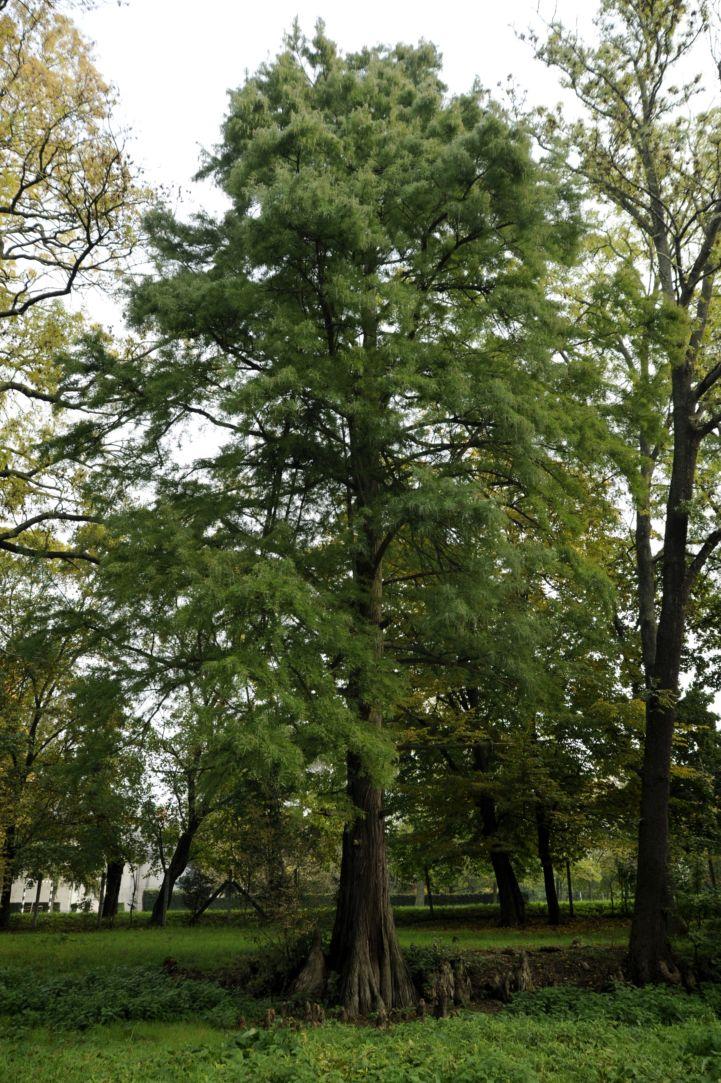 hazánk harmadik legnagyobb mocsárciprusa az Orczy–Prónay-kastély parkjában
