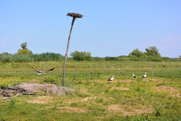 gólyák a Fenékpusztai Madárgyűrűző Állomás közelében