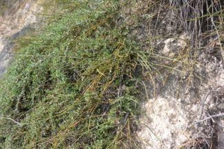 a hegy déli oldalán növő csikófark