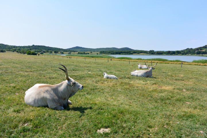 magyar szürkemarhák a Belső-tónál