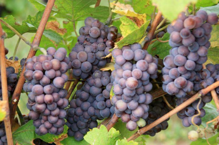 szürkebarát szőlő