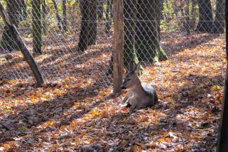 őszi avaron pihenő őz
