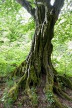 szép fa a Szentfa kápolna és forrás közelében