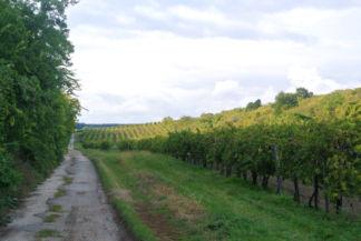 elhaladunk a Szentgyörgyi szőlők mellett