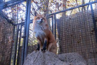 a kifutó alól nézve szinte testközelbe kerülnek a rókák