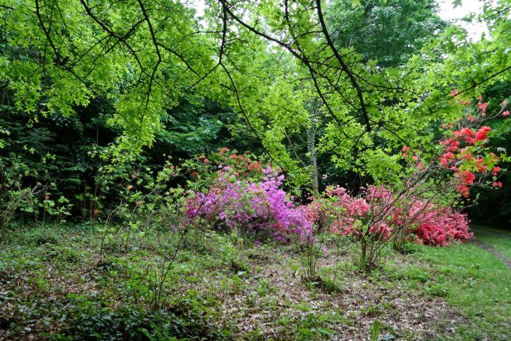 virágzó azáleák a A Budafai Arborétumban