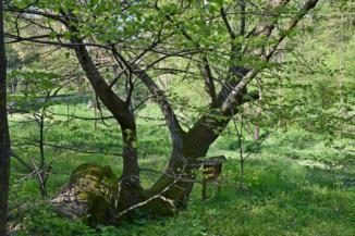 Zrínyi hársfája a Zsigárd erdei lakhoz közel