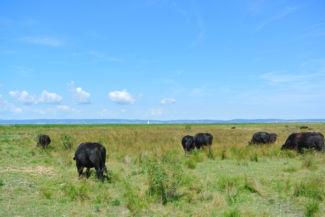 fekete angus tehenek a nemzeti parkban