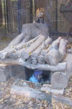 a kifutó alól is megcsodálhatjuk a rókákat