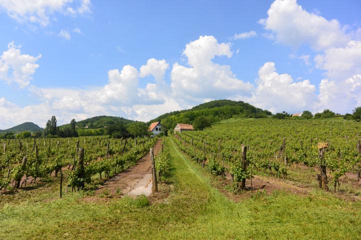 szőlősorok Káptalantóti határában