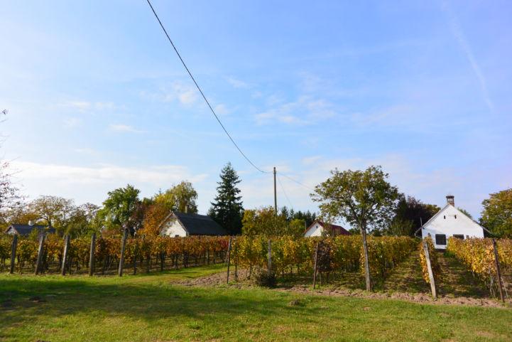 szőlősorok és pincesor Somogyszentpál közelében