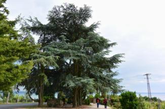 atlasz cédrus a Folly Arborétumban