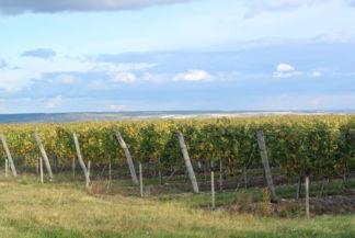 szőlősorok Etyek határában