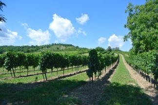 szőlősorok Nyulas határában