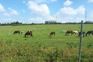 legelő lovak Gyúró és Tordas között