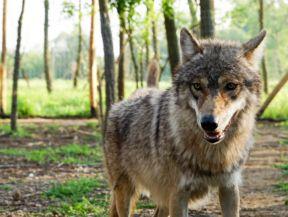 farkas a Medveotthonban