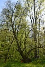 Zrínyi-hárs a Zsigárd erdei lak közelében