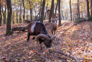 muflonok a vadasparkban
