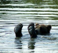 fürdőző medve a Medveotthonban