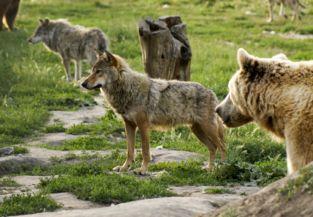 farkasok és egy medve a Medveotthonban