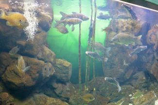 fish from the Balaton at the Bodorka Balaton Aquarium
