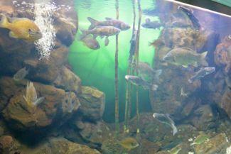 balatoni halak a Bodorka Balatoni Vízivilág Látogatóközpontban
