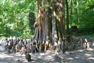 különleges fa a Brunszvik-kastély parkjában