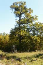 régi vadászles egy hatalmas fa mellett