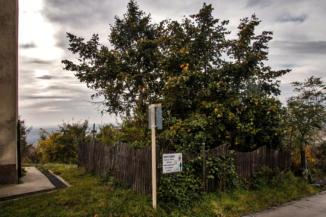védett hársfa