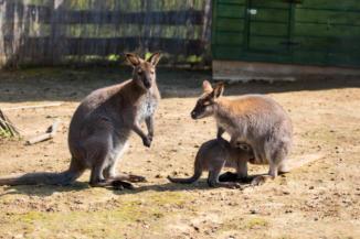 kenguruk az állatsimogatóban