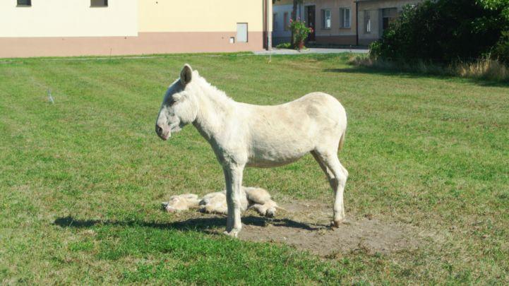 fehér szamarak Illmitzben