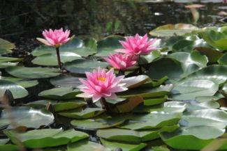 rózsaszín tavirózsák a Budai Arborétumban