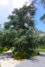 a Folly Arborétum jellegzetes fája, az atlasz cédrus