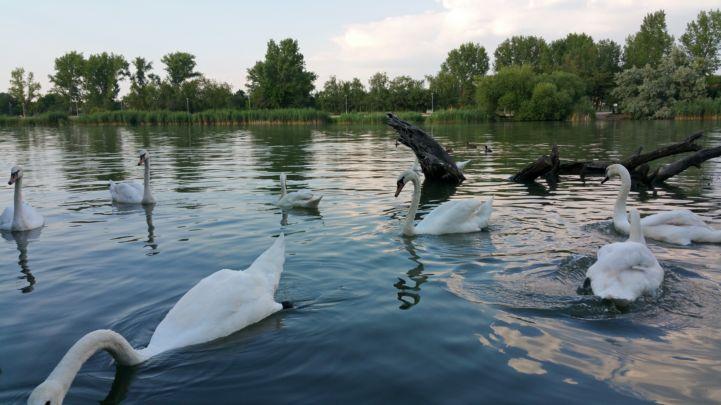 hattyúk a Kis-Duna partján