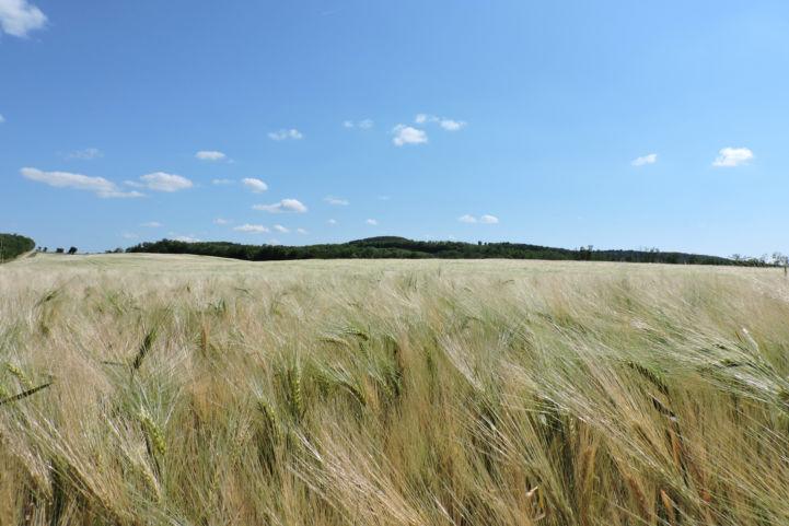 búzakalász-mező Nagycsepely és Kötcse határában