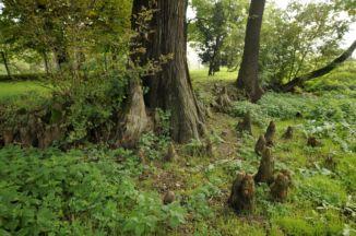 hazánk harmadik legnagyobb mocsárciprusának gyökérzete az Orczy–Prónay-kastély parkjában