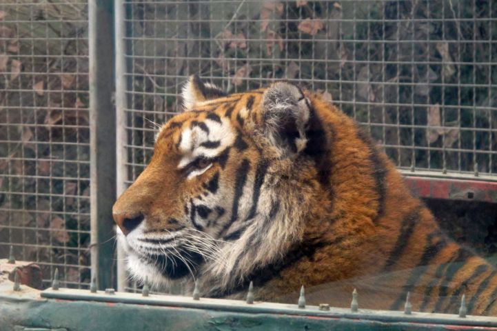 szibériai tigris