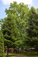 Óriás platán a letenyei Szapáry-Andrássy-kastély kertjében