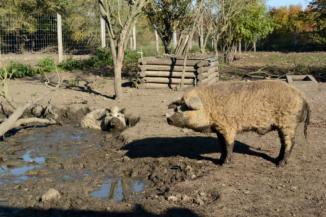 göndör szőrű mangalica a Festetics Imre állatparkban