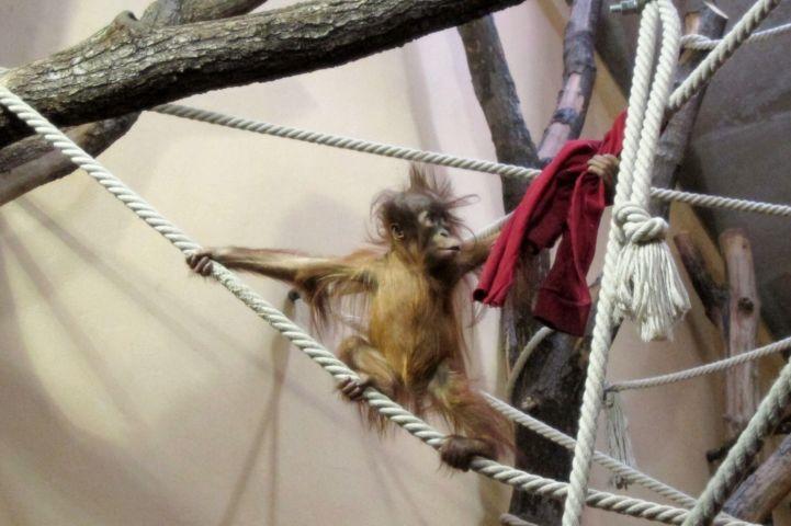 fiatal szumátrai orángután