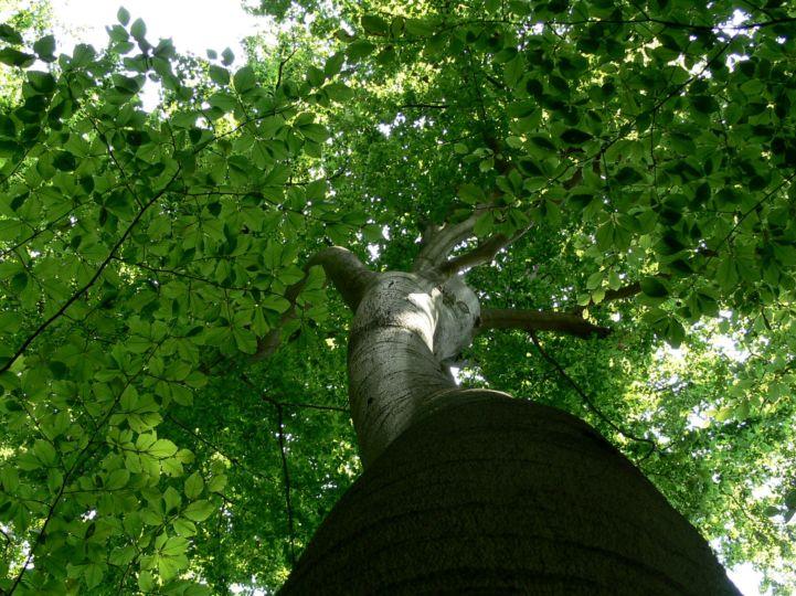bükkfa a Vétyem Erdőrezervátumban