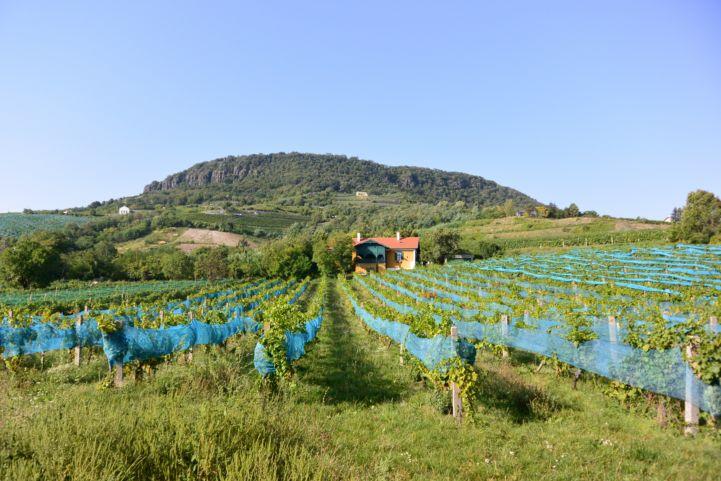 badacsonyi szőlők a Római út mentén