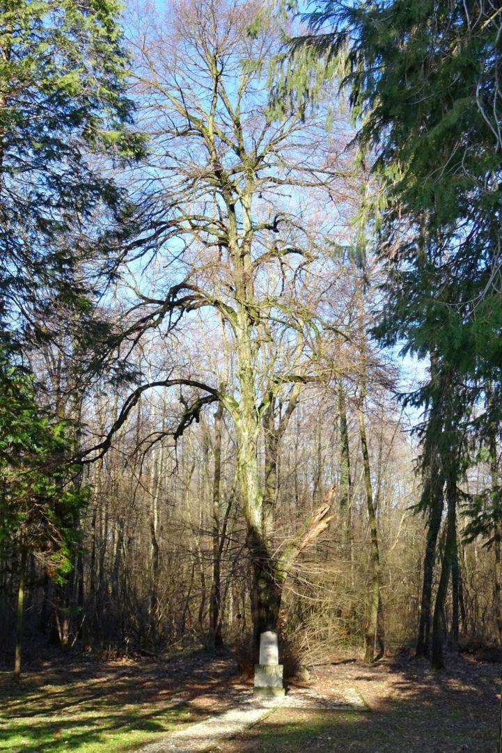 Erzsébet királyné emlékműve egy öreg hársfa alatt a Zsigárd erdei lak mellett